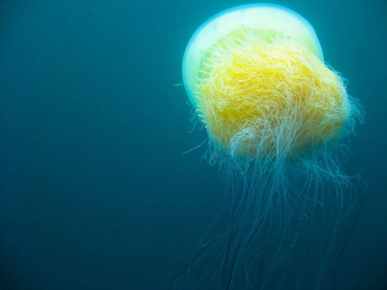 Medusa di Nomura: la più grande del mondo. Foto di Janne Hellsten